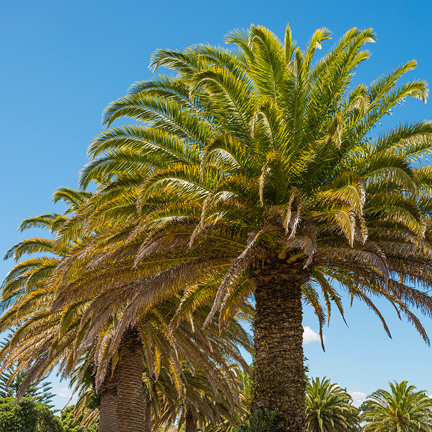 mature palm trees